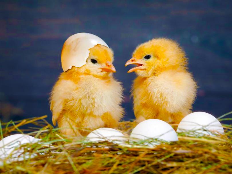 Yumurta Civciv Yemi